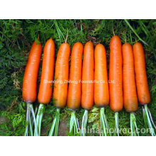 High Quality Fresh Shandong Carrot
